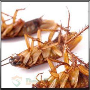 Мертвый таракан после борной кислоты