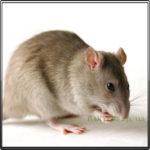 Серая Крыса Пацюк фото